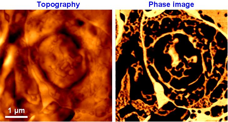 AFM Phase Image of Rat Brain
